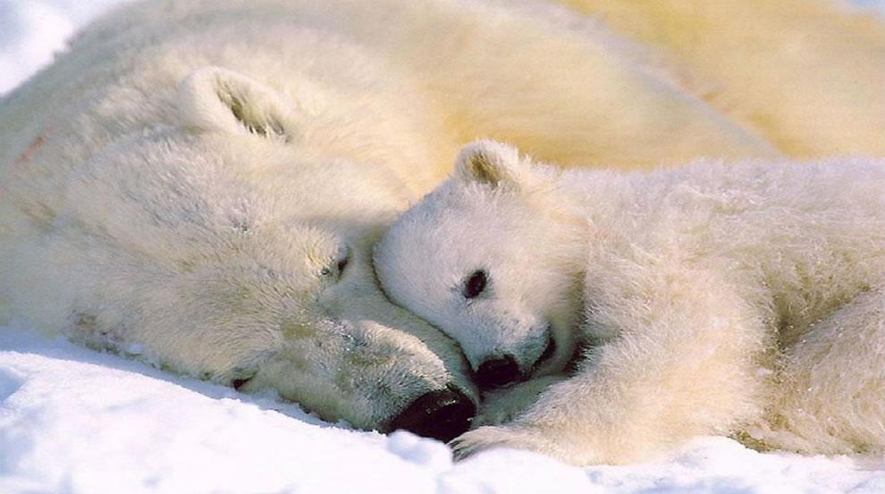 это картинки белого медведя с детенышами возможность найти земельные