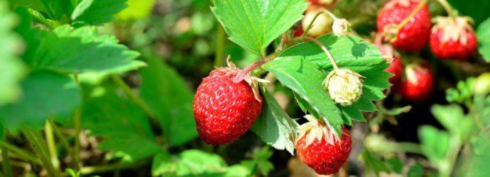 Урожайная клубника: особенности ухода