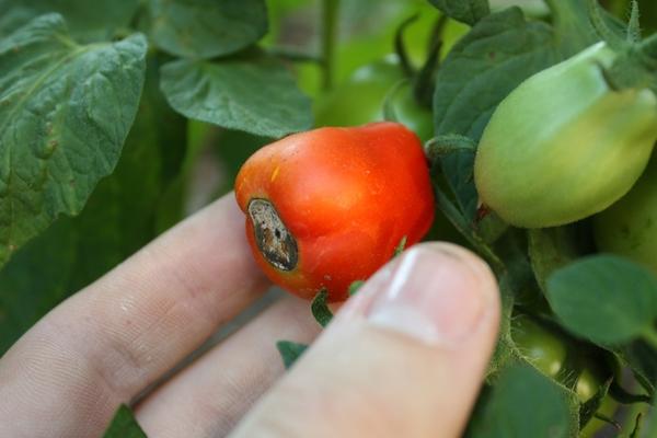 Почему у помидоров почернели попки?