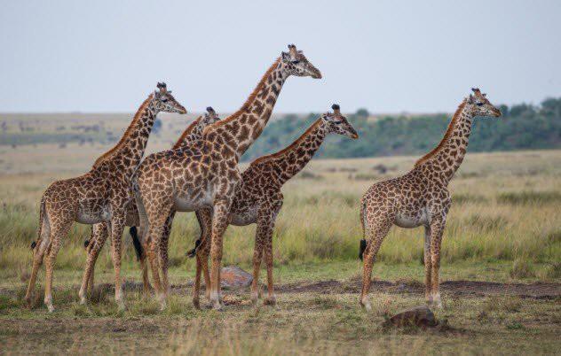 Как у жирафов появилась длинная шея загадки, природа