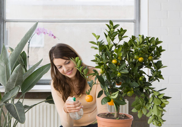 выращивание мандарина