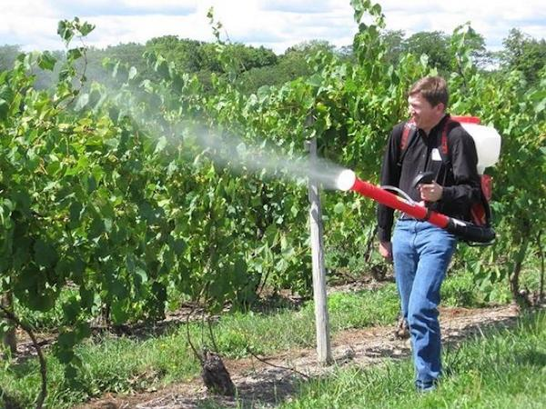 Изгоняем вредителей из виноградника