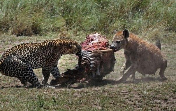 Гиена пыталась отнять добычу у леопарда