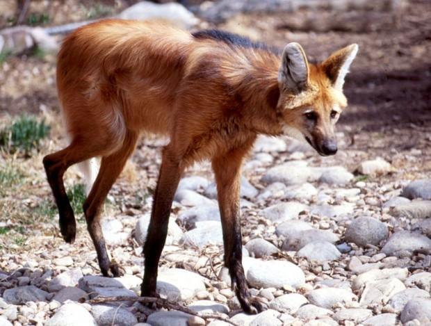 Гривастый или гривистый волк
