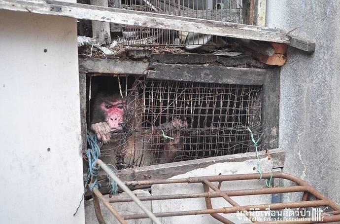 В Таиланде спасли обезьяну, которая 25 лет просидела в тесной  клетке