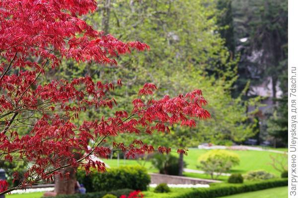 Деревья с красными листьями для сада