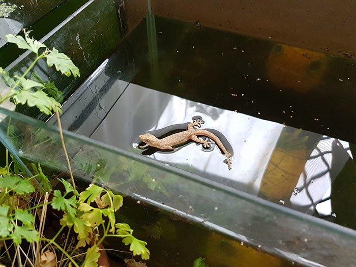 Геккон отдыхает на поверхности аквариума. Силы поверхностного натяжения воды ему для этого вполне достаточно всемирное тяготение, забавно, закон гравитации, истории в картинках, неожиданно, против законов физики, удивительно, удивительное рядом