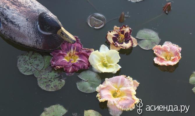 Величественная красота лилейников
