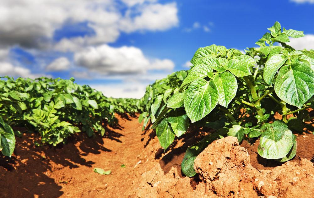Летний уход за картофелем – пошаговый мастер-класс с фото