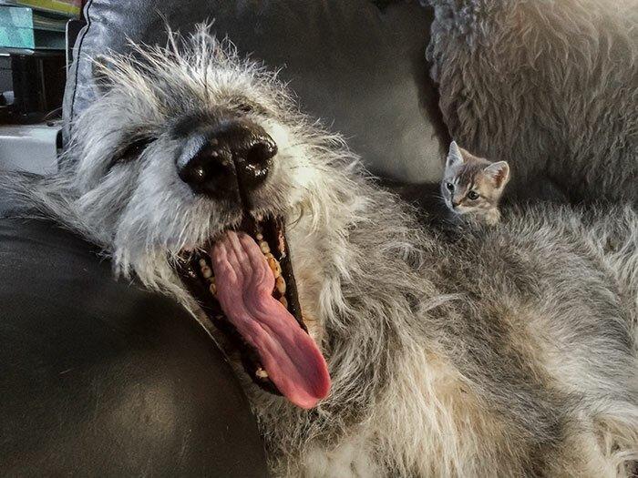 """15. """"Какая большая у тебя пасть и какой длинный язык!"""" волкодав, волкодавы, домашние питомцы, забавные собаки, собаки, собаки и дети, собаки и хозяева, фото собак"""