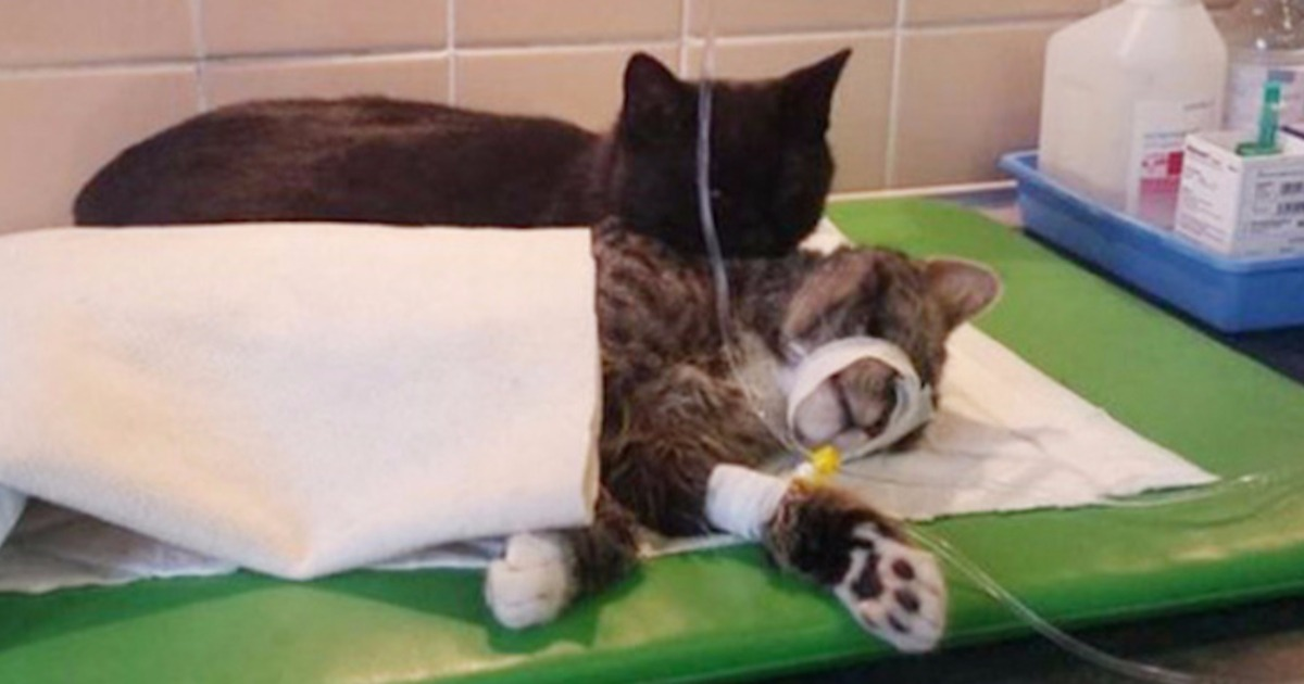 Он чувствует их боль! Чудом исцелившийся кот помогает другим животным победить болезнь!