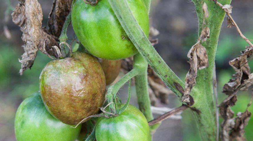 Обработка помидоры и картофеля