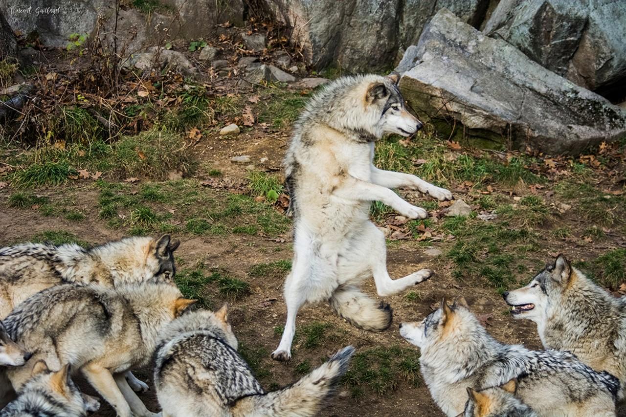 Волчицы смешные картинки, нов