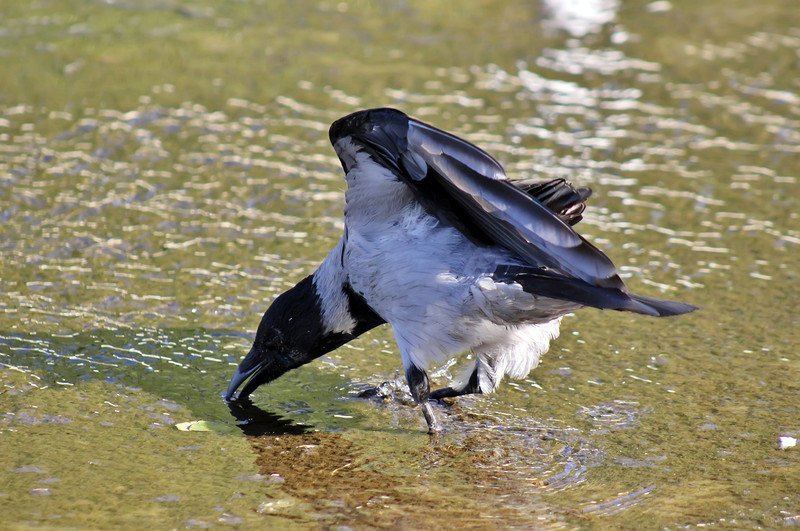 Ворона серая — интеллектуал мира птиц HPAV, Мир тайн, ворона, вороны, интеллект, поведение, птицы, фото