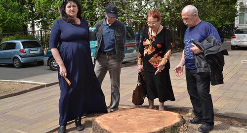 В Сочи в День космонавтики спилили посаженный Гагариным кедр
