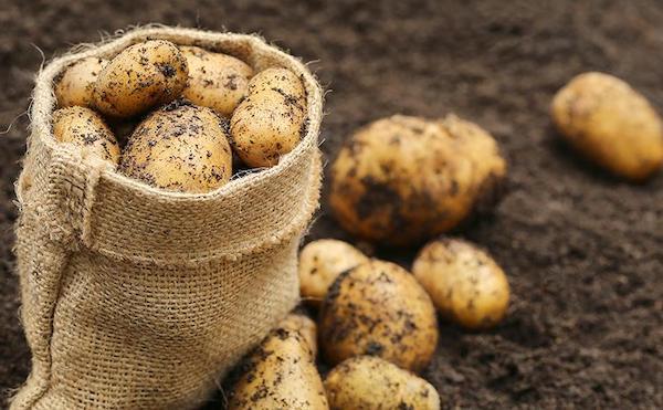 Можно ли сажать картофель под зиму?