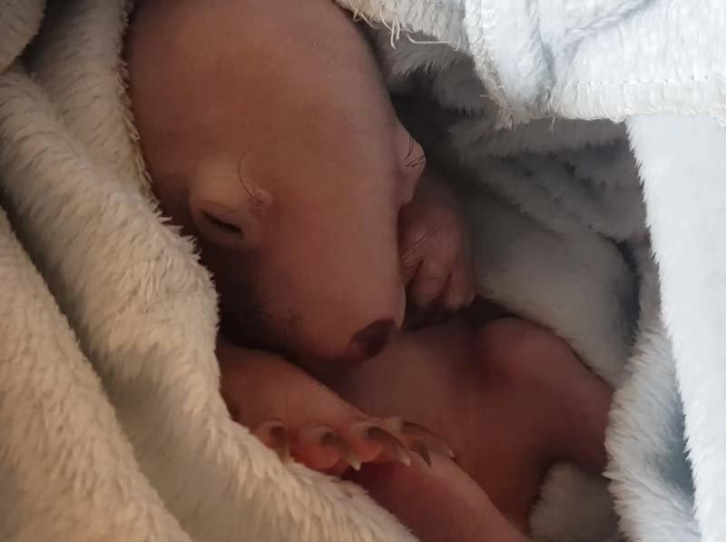 О чём мечтают детёныши вомбатов? Это милое видео неоднозначно восприняли пользователи Сети видео, вомбат, детеныш, животные, милота
