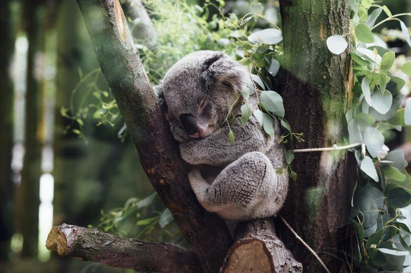 9. Коала барс, коала, панда, редкие животные, тигр