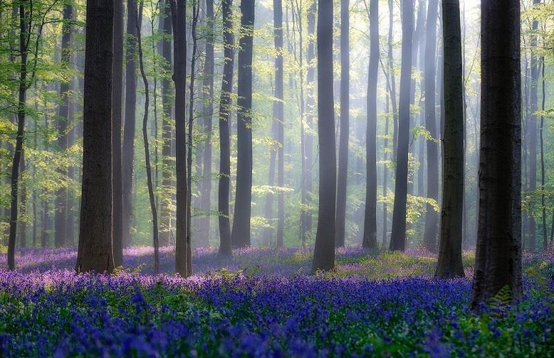 Халлербос – синий лес в Бельгии (25 фото)