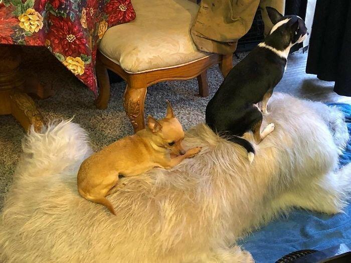 40. Дриллер, Коко и Шанель - друзья навеки волкодав, волкодавы, домашние питомцы, забавные собаки, собаки, собаки и дети, собаки и хозяева, фото собак
