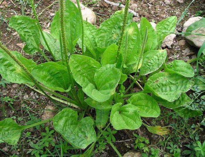 Этот сорняк — одно из мощнейших целебных растений! Лечит бронхит, проблемы с ЖКТ, кожей и не только!