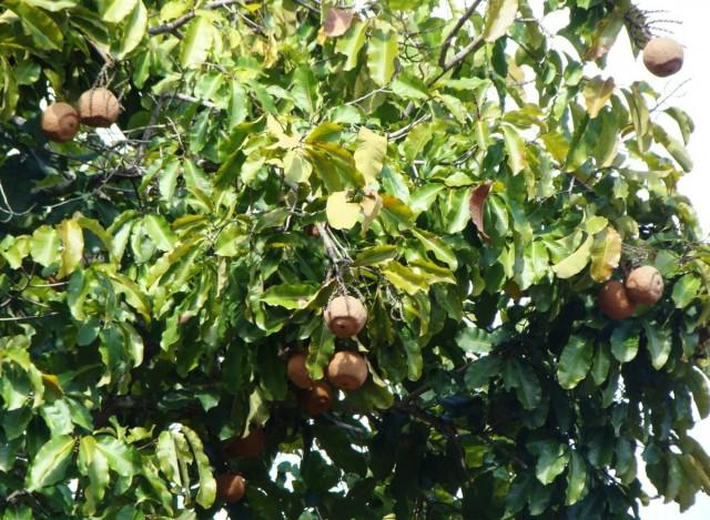 Бертолетия, бразильский орех (Bertholletia)