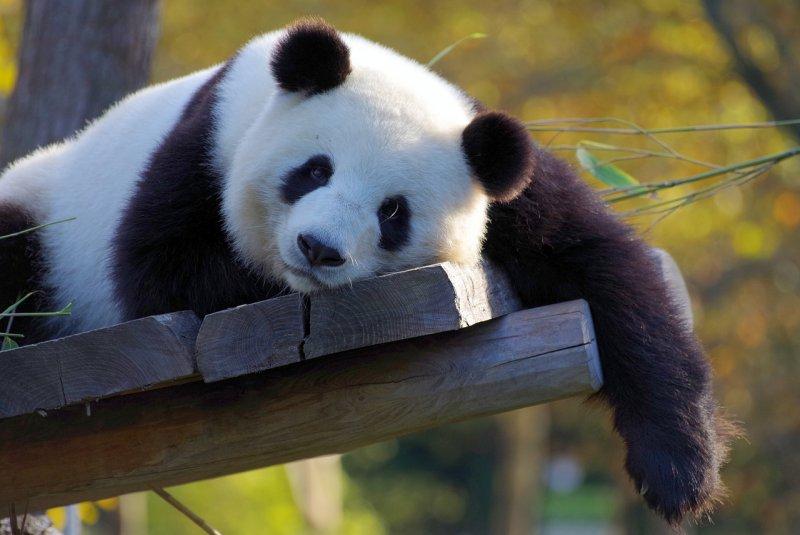 2. Панда барс, коала, панда, редкие животные, тигр