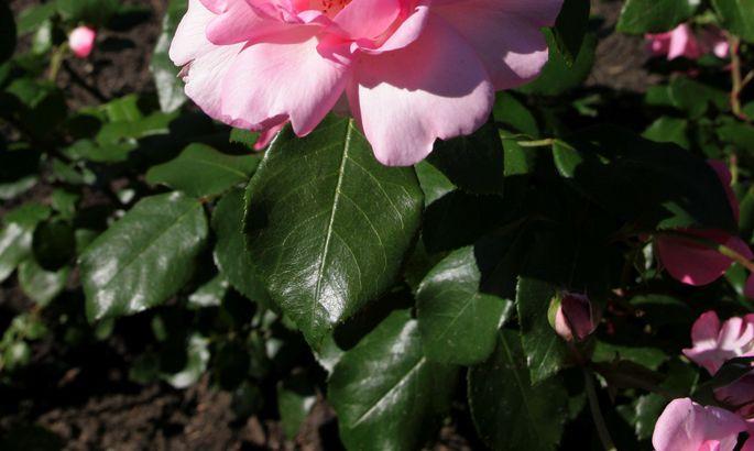 Розовая вода как эликсир кра…