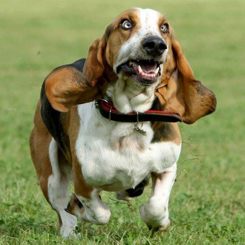 Бегущие собаки — зрелище ещё то!