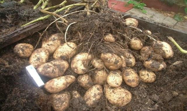 Картофель: тонна клубней с одной сотки. авторская технология дачника из сибири