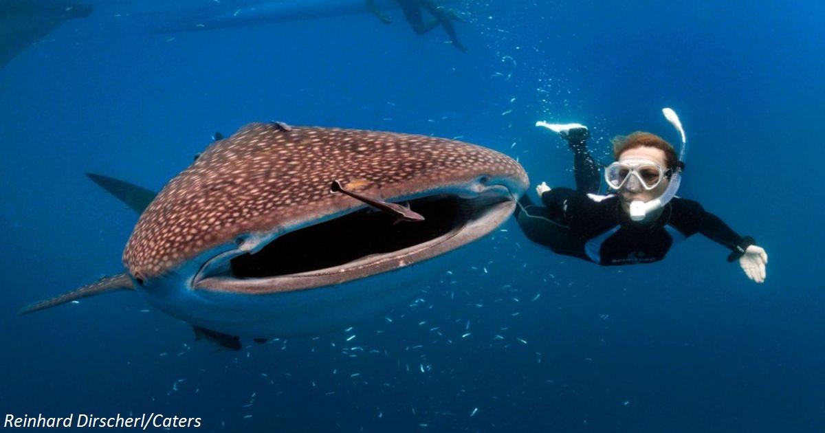Огромная китовая акула схватила дайвера за ногу. Но оказалось - она просила о помощи!