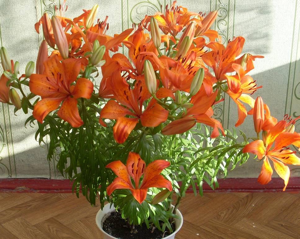 Лилии, цветущие зимой