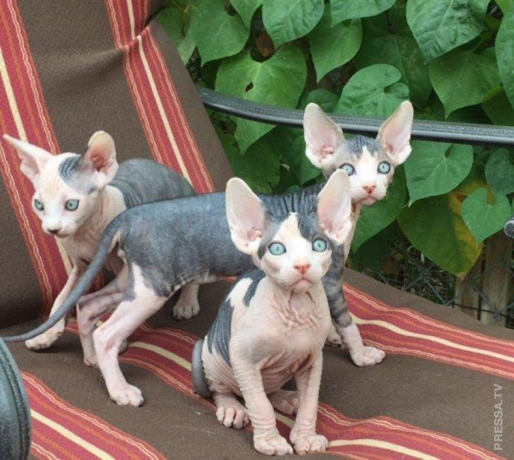 Пришельцы или просто очаровательные котята-сфинксы
