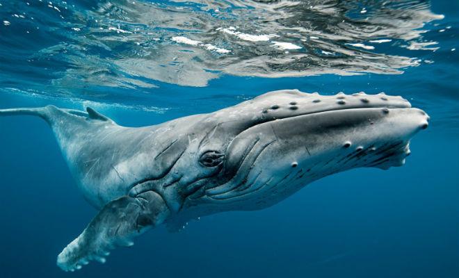 Огромный кит спас дайверу жизнь