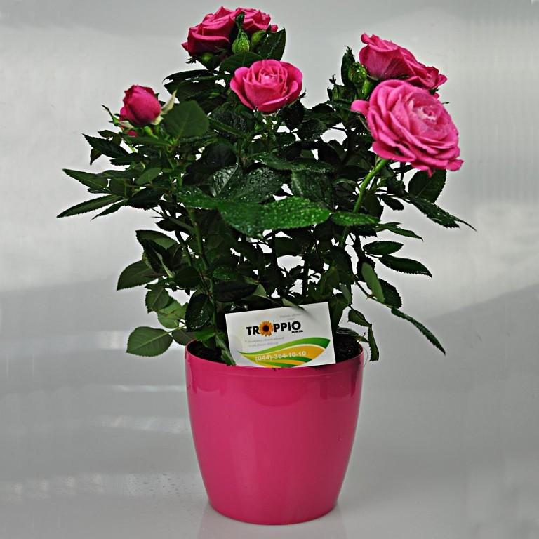 Картинки по запросу миниатюрные розы в горшке купить