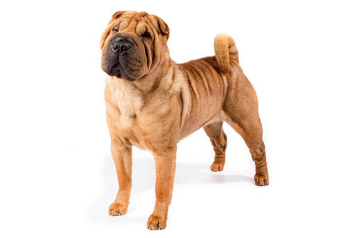 Собака шарпей метис: особенности породы