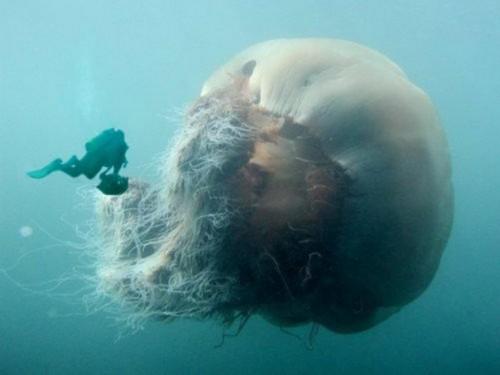 Гигантская арктическая медуза