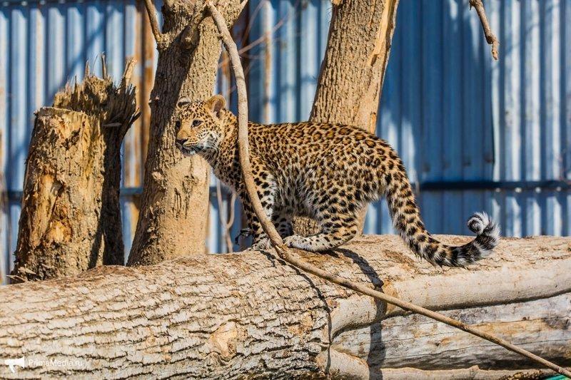 Леопардесса, выкормленная ретривером, привыкает в приморском зоопарке к новому другу леопард, приморский зоопарк, фоторепортаж