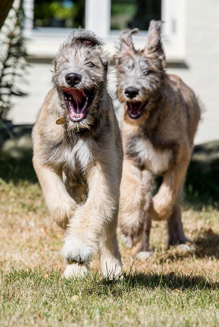 26. Джазза и Гэндальф волкодав, волкодавы, домашние питомцы, забавные собаки, собаки, собаки и дети, собаки и хозяева, фото собак