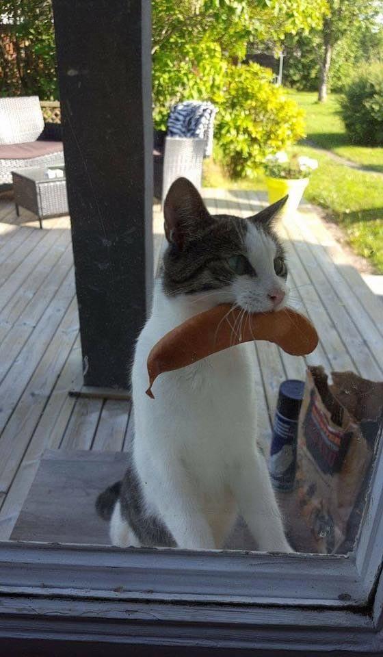 """""""Кошка вернулась с сосиской, украденной у соседней во время пикника"""" гифки, животные, кошки, приколы"""
