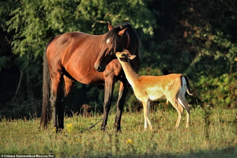 Каждое утро этот молодой олень приходит на пастбище к лошади, которую считает своей мамой