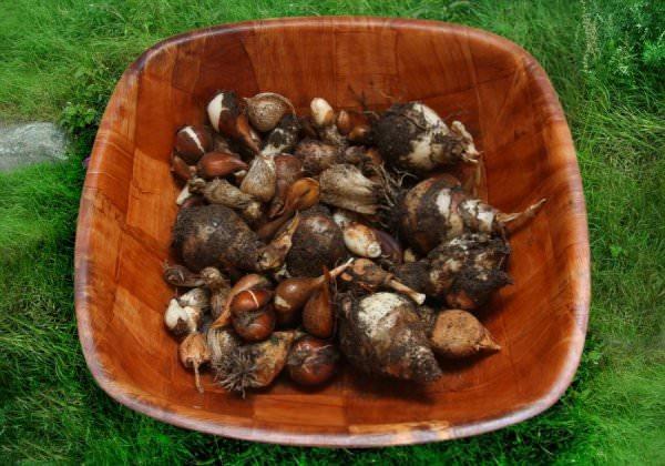 САД, ЦВЕТНИК И ОГОРОД. Когда лучше выкапывать луковицы тюльпанов