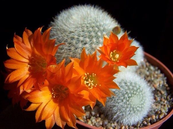 Как добиться цветения кактусов?