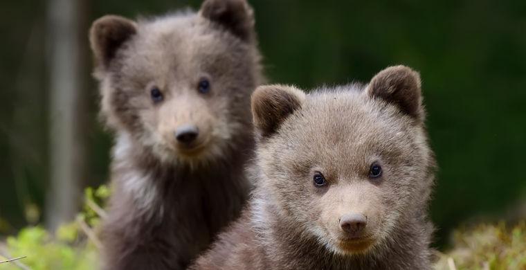 Медвежата ворвались в дом и …