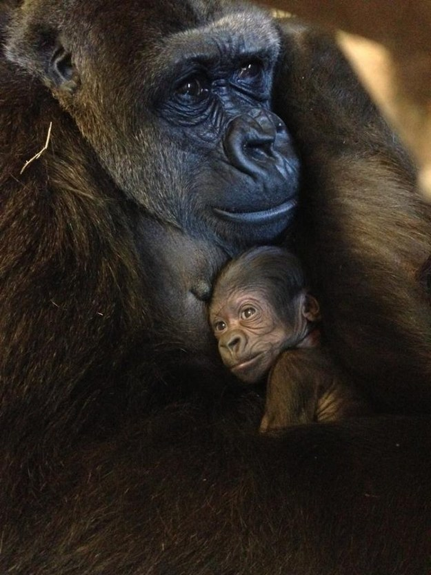 This gorilla spending some quality time with her mom.
