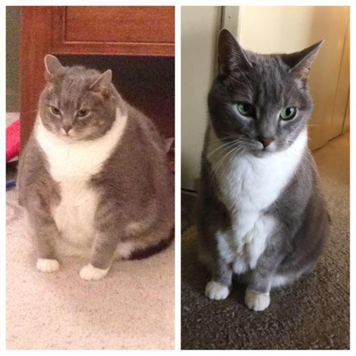 Очень толстый кот похудел и стал звездой