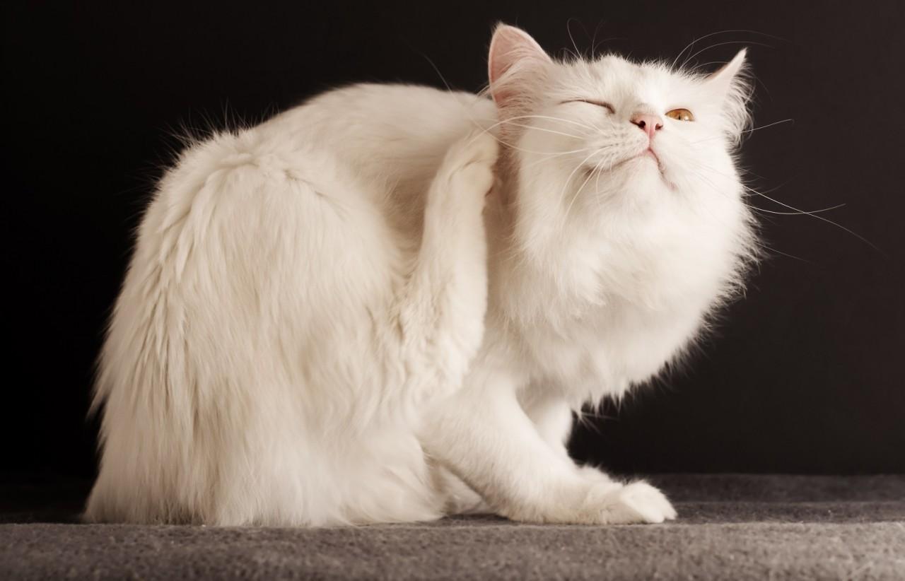 Уникальная методика по избавлению кота от блох.
