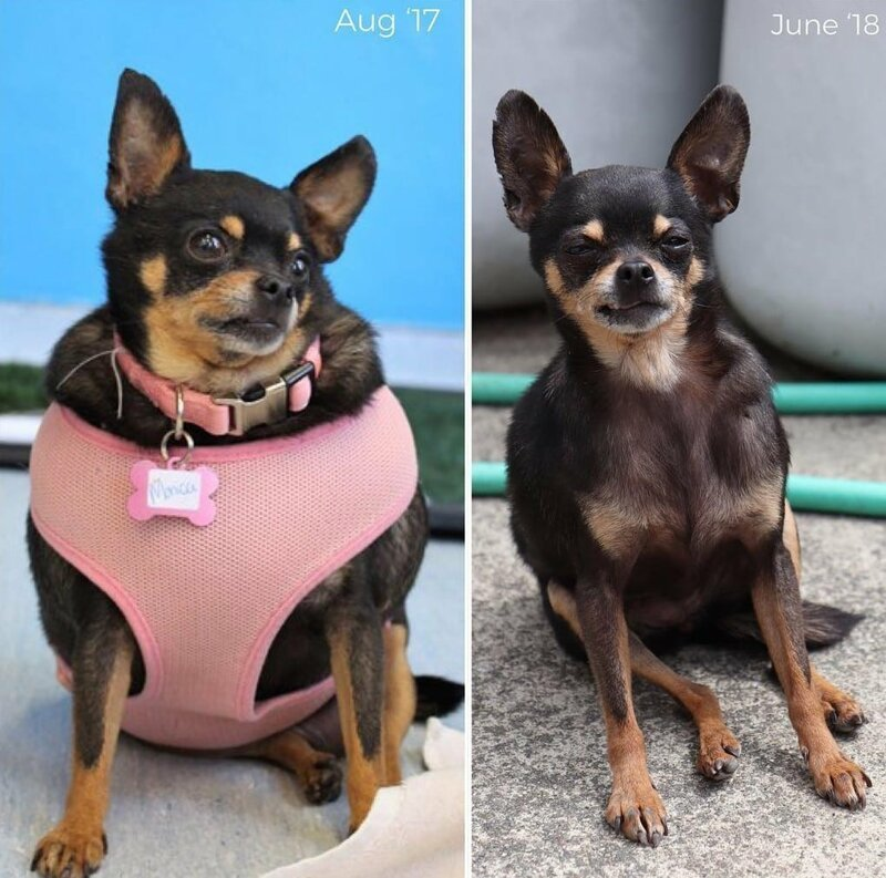 1. Красотка Берта похудела в два раза диета, до и после, домашний питомец, животные, похудела, собака, фигура
