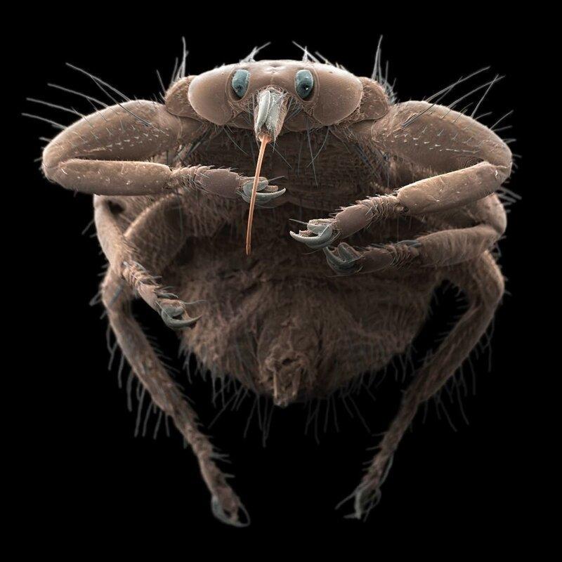 Оленья кровососка жизнь, интересно, под микроскопом, познавательно, фотограф