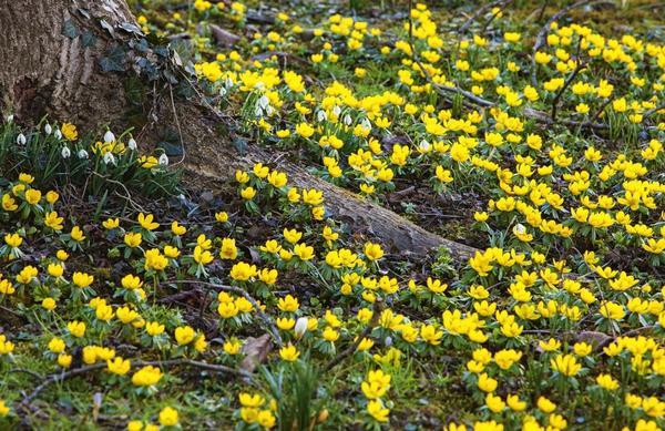 Золотые россыпи весны — эрантисы, или весенники